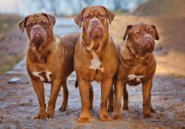 maiores raças de cães do mundo Dogue de Bordéus