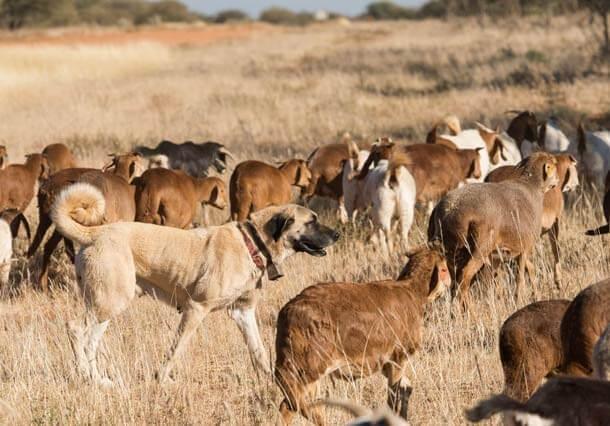 maiores raças de cães do mundo Kangal