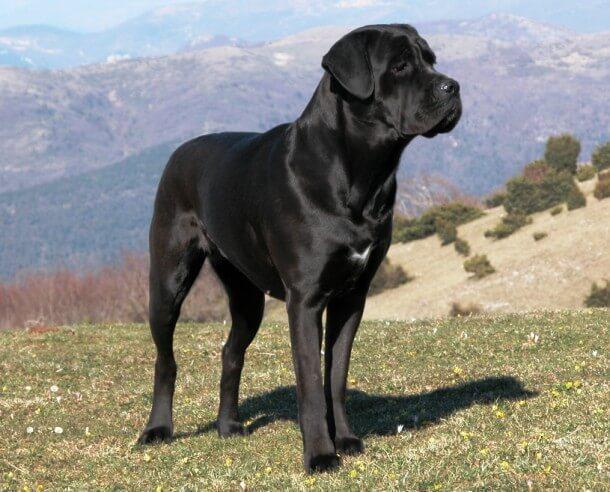 maiores raças de cães do mundo Cane Corso