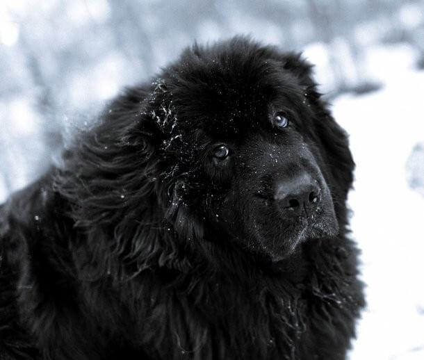maiores raças de cães do mundo Terra Nova