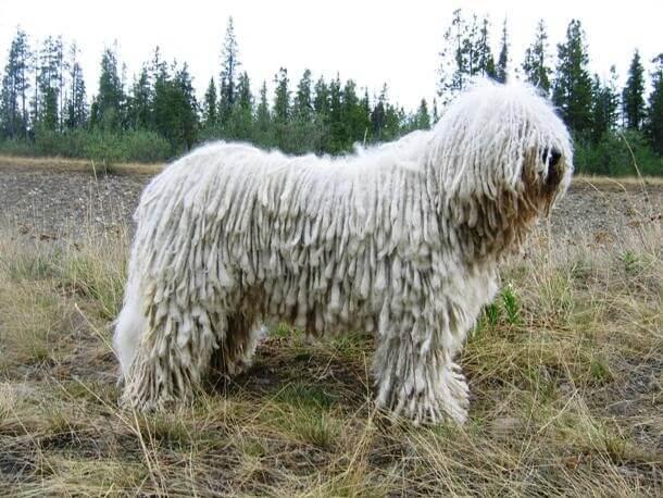 maiores raças de cães do mundo Komondor