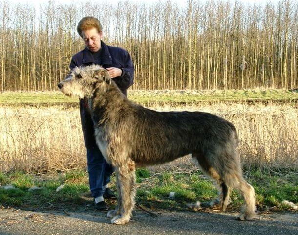 maiores raças de cães do mundo Lébrel Escocês