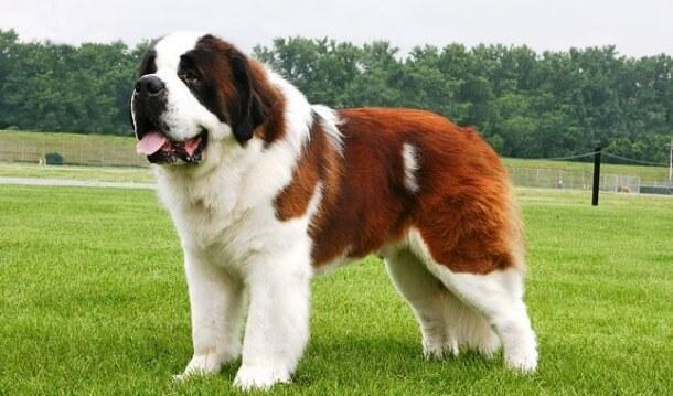 maiores raças de cães do mundo São Bernardo