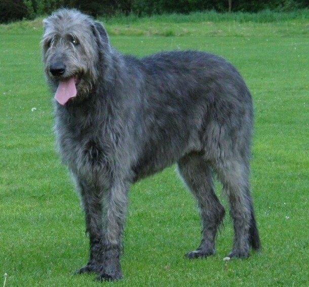 maiores raças de cães do mundo Lébrel Irlandês