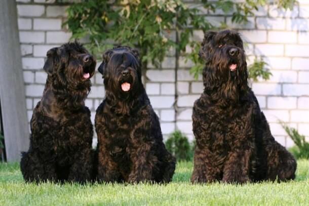 maiores raças de cães do mundo Terrier Preto da Rússia