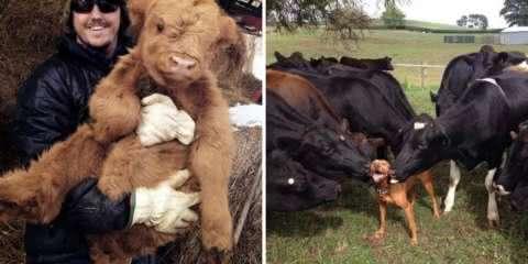 21 vezes que as vacas provaram que são apenas cachorros grandes