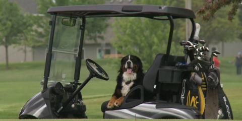Cachorro encontra bolas de golfe perdidas para ajudar abrigo de animais