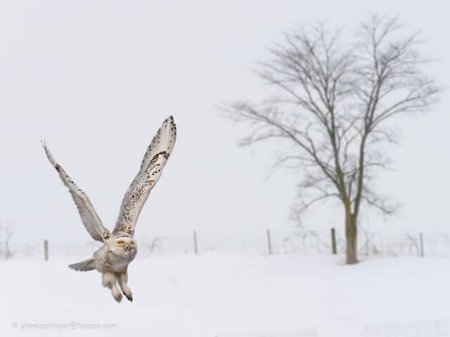 coruja voando