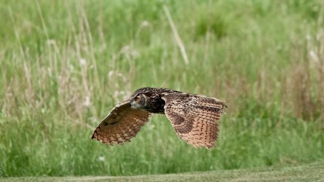coruja voo rasante