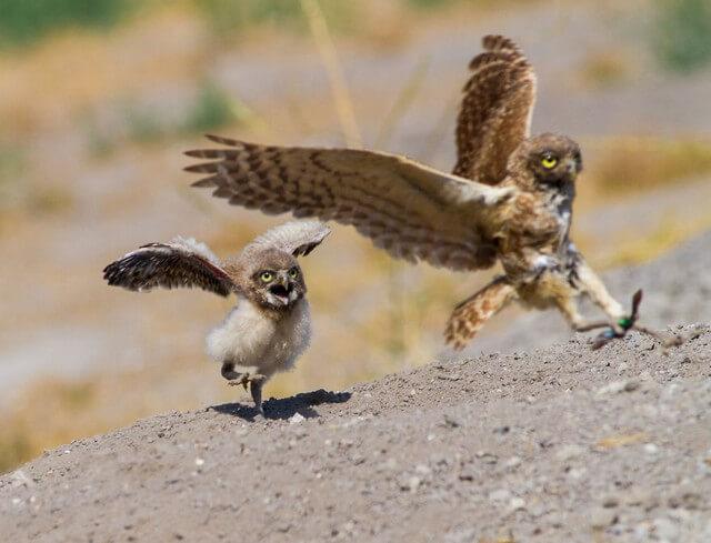 coruja aprendendo a voar