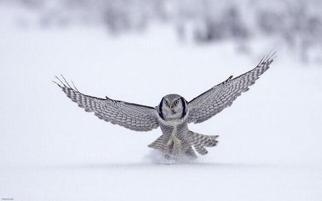 coruja majestosa voando