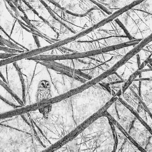coruja na neve