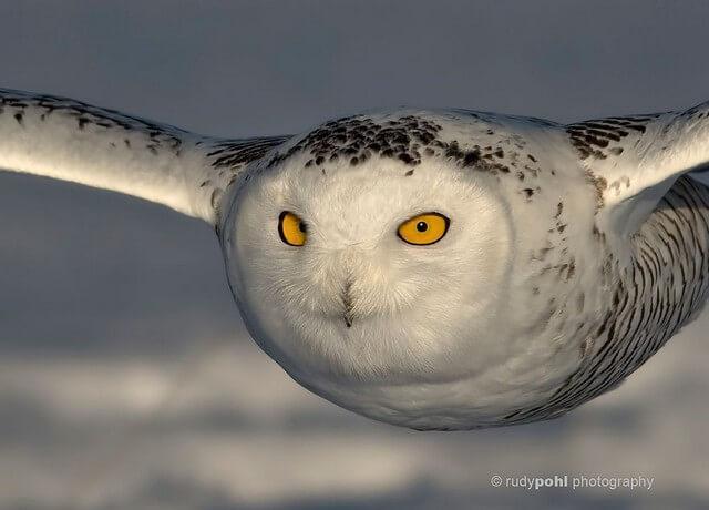 coruja como um avião