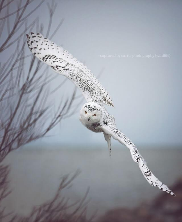 coruja fazendo manobra no ar