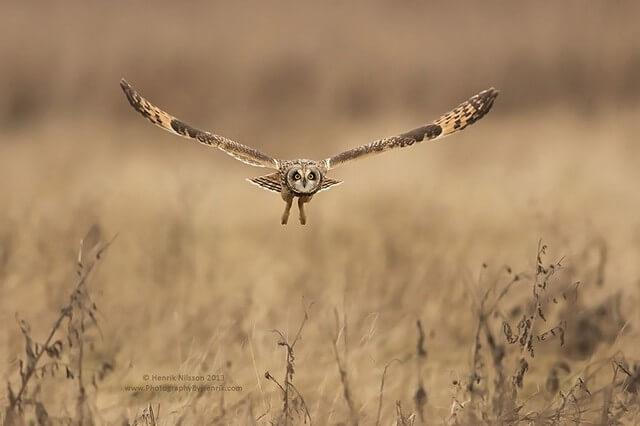 coruja caçada