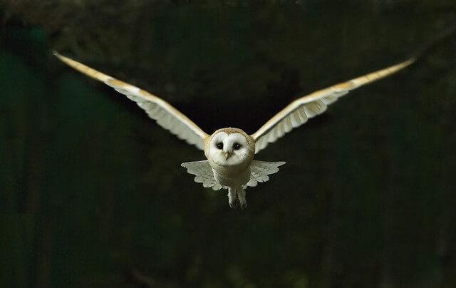 coruja plena