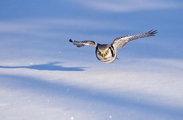 coruja ágil