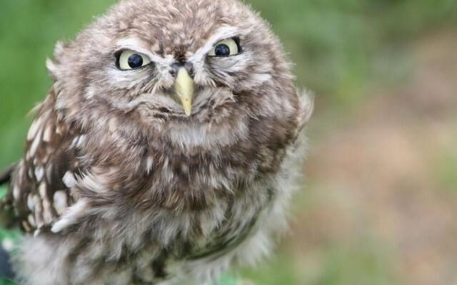 coruja raiva