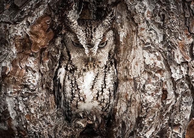 coruja árvore