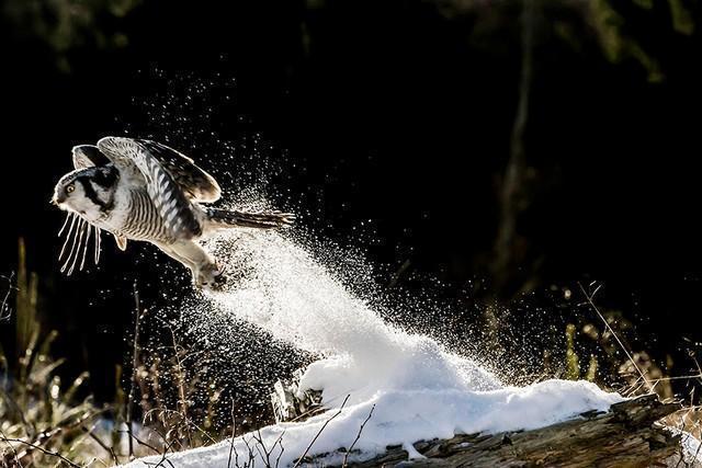 coruja foguete