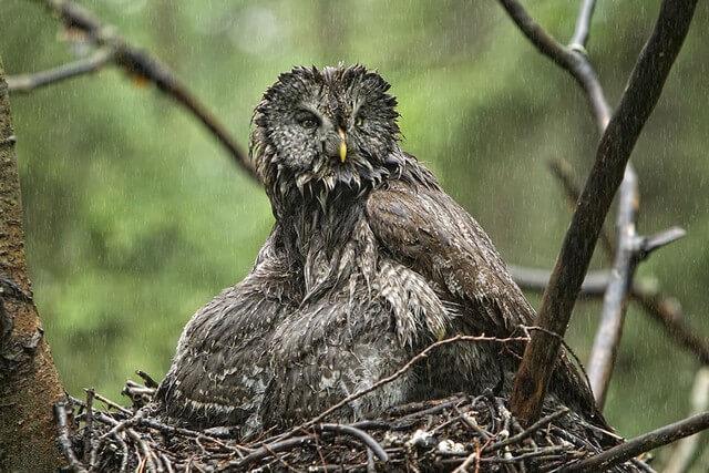 coruja na chuva