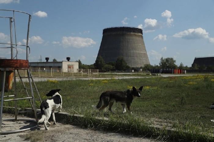 Cães abandonados na cidade de Pripyat