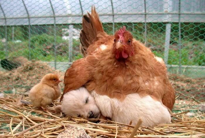 Galinhas Melhores Mães (2)