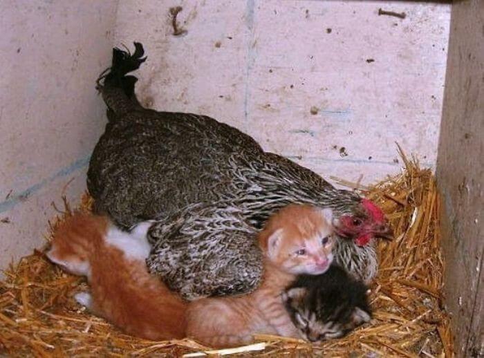 Galinhas Melhores Mães (4)