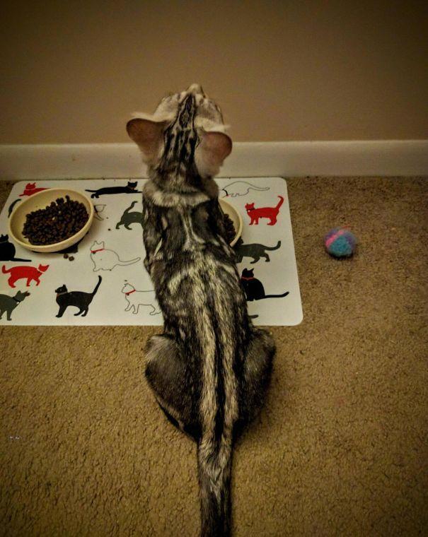 Gato com marca na pelagem 11