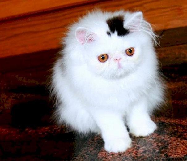 Gato com marca na pelagem 16