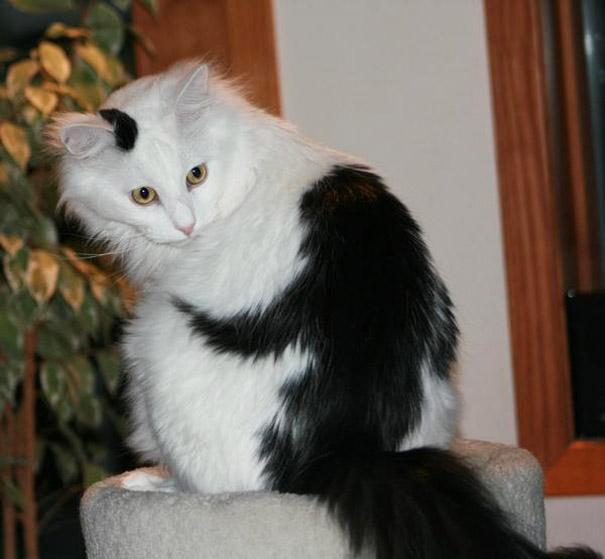 Gato com marca na pelagem 22
