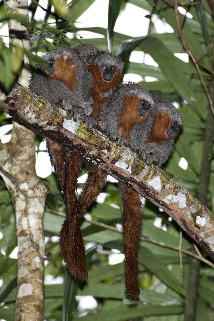 Novas espécies da Amazônia 2