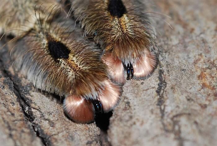 Pata de Aranha (4)