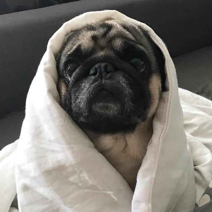 Tirinhas Cão Pug (26)