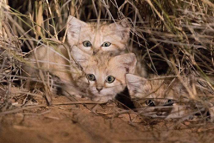 Gatinhos de areia fotografados pela primeira vez 1