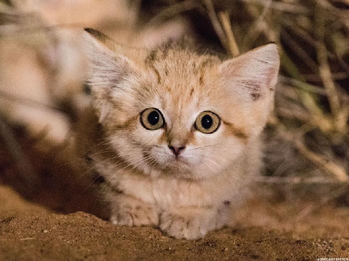 Gatinhos de areia fotografados pela primeira vez 2
