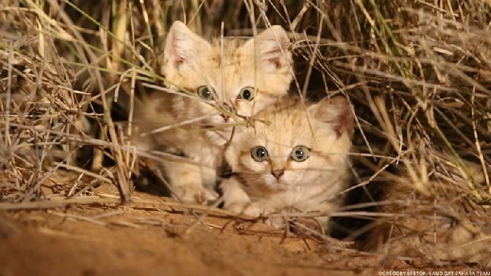 Gatinhos de areia fotografados pela primeira vez 4