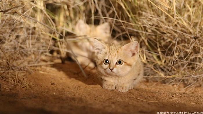 Gatinhos de areia fotografados pela primeira vez 6