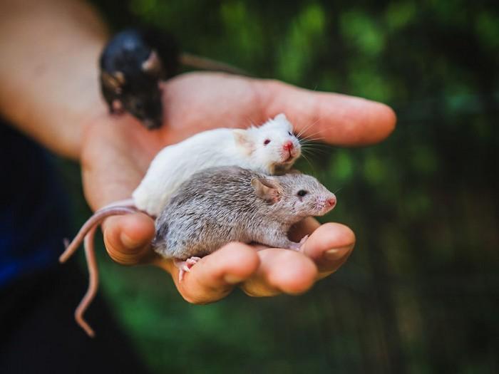 Ratinhos de laboratório reagem à liberdade 3