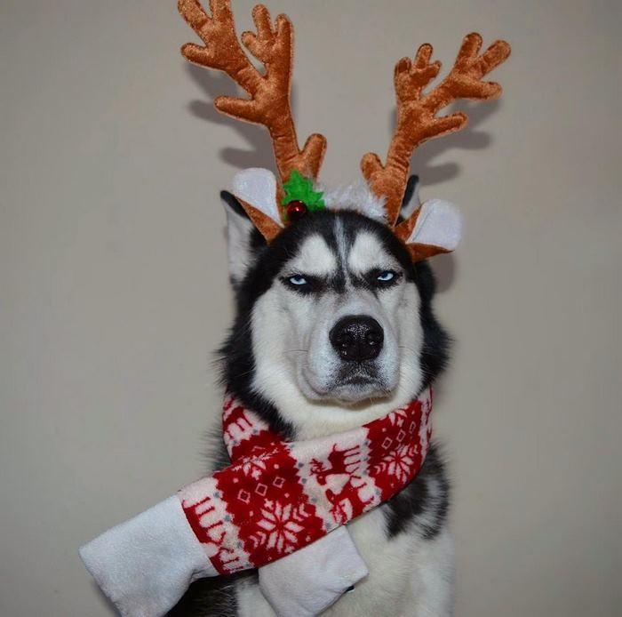 Ensaio de Natal engraçado com Husky Siberiano (11)