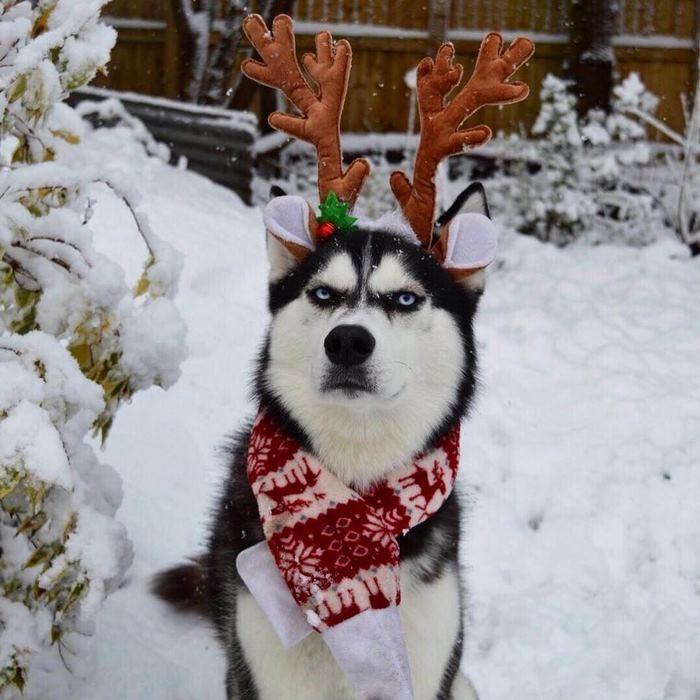 Ensaio de Natal engraçado com Husky Siberiano (10)