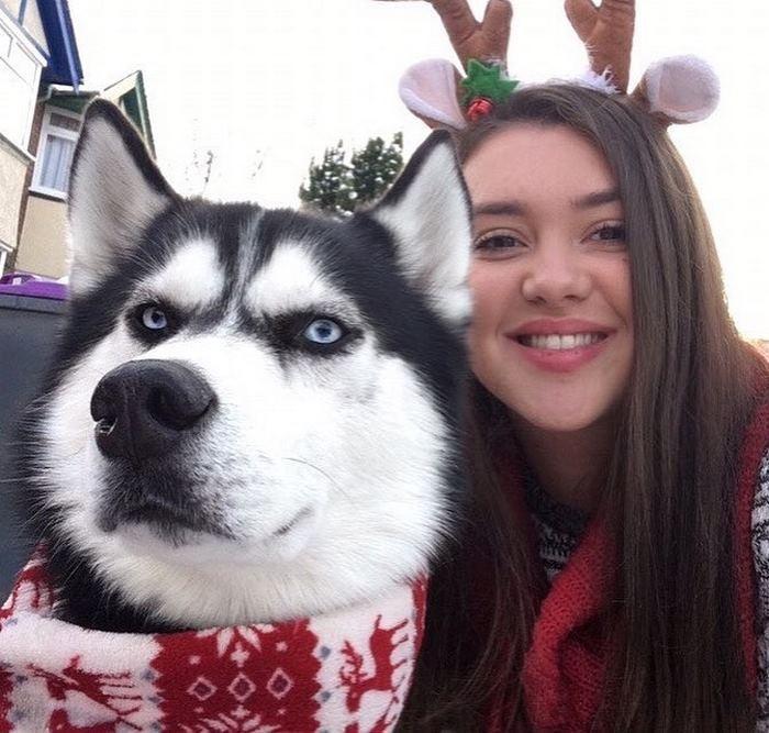 Ensaio de Natal engraçado com Husky Siberiano (9)
