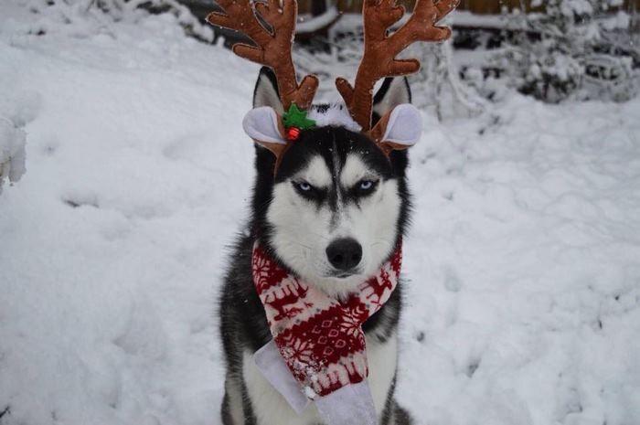 Ensaio de Natal engraçado com Husky Siberiano (7)