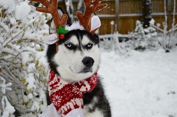 Ensaio de Natal engraçado com Husky Siberiano (5)