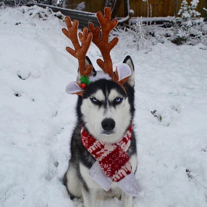 Ensaio de Natal engraçado com Husky Siberiano (3)
