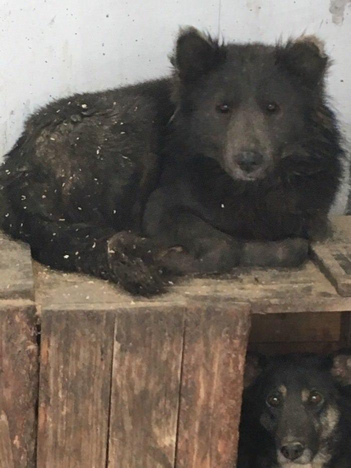 Cachorro cara de urso (1)