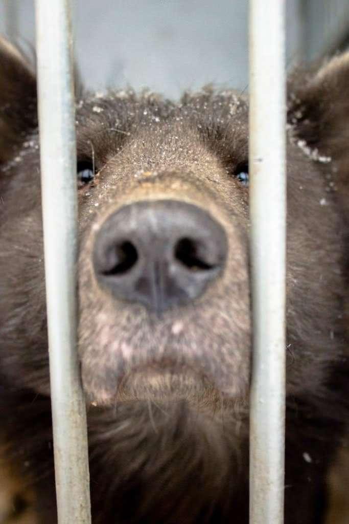 Cachorro cara de urso (2)