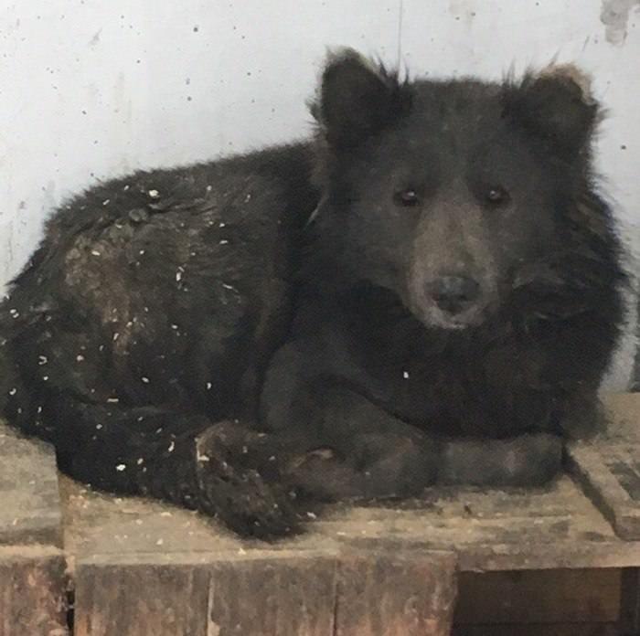 Cachorro cara de urso (5)