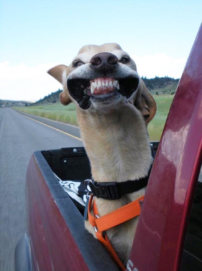 Cães sentindo o vento no carro (1)
