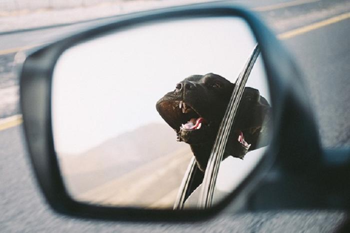 Cães sentindo o vento no carro (2)